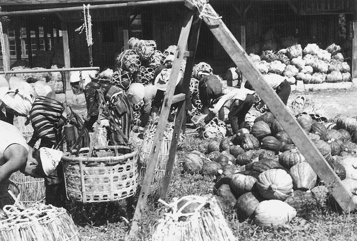 カボチャの出荷作業