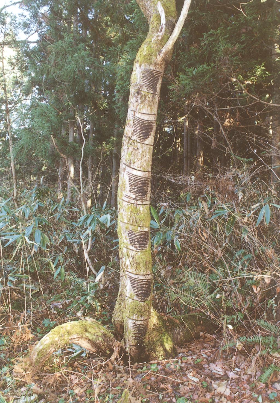 漆の木(掻き跡)