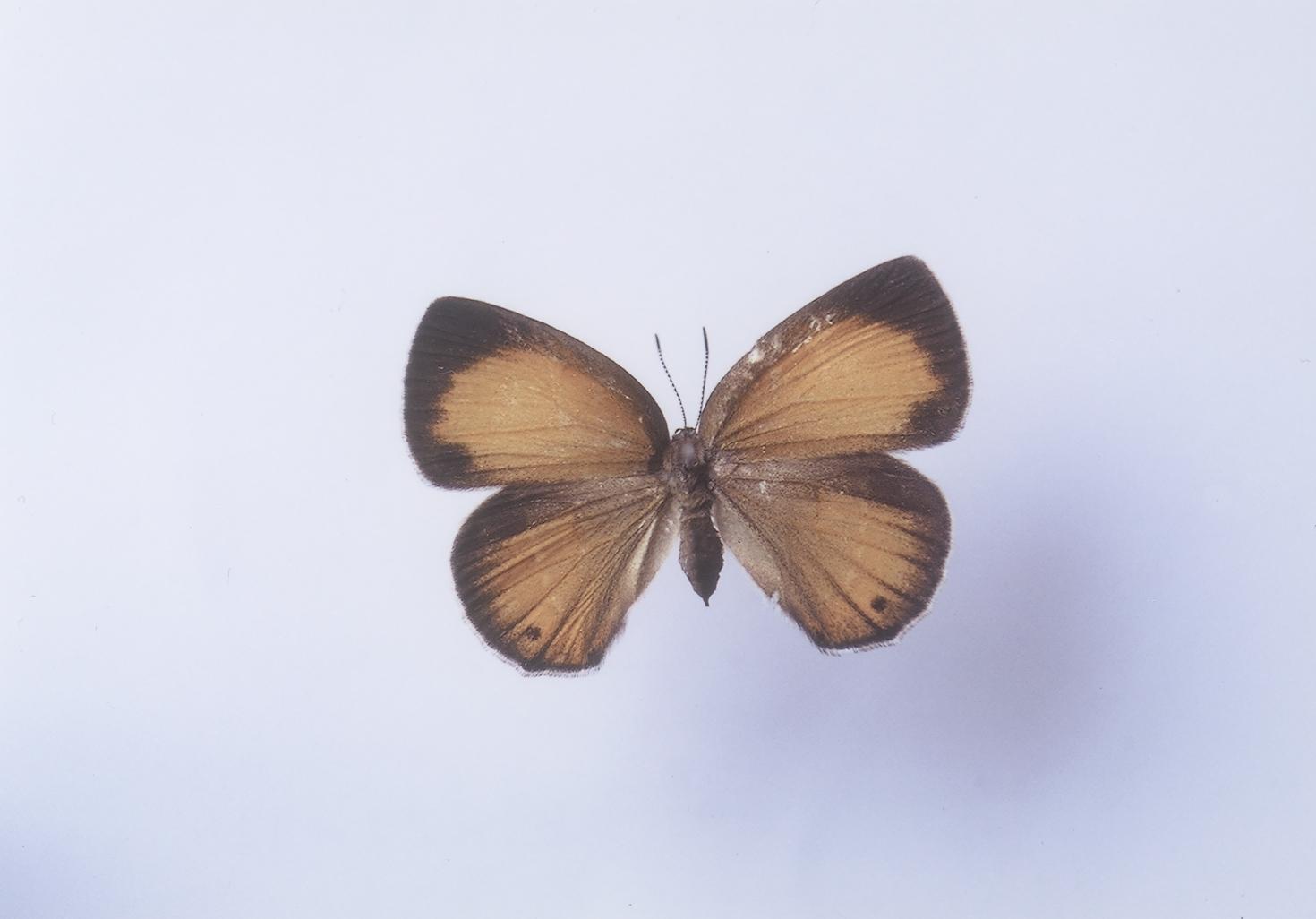 チョウセンアカシジミ (標本)