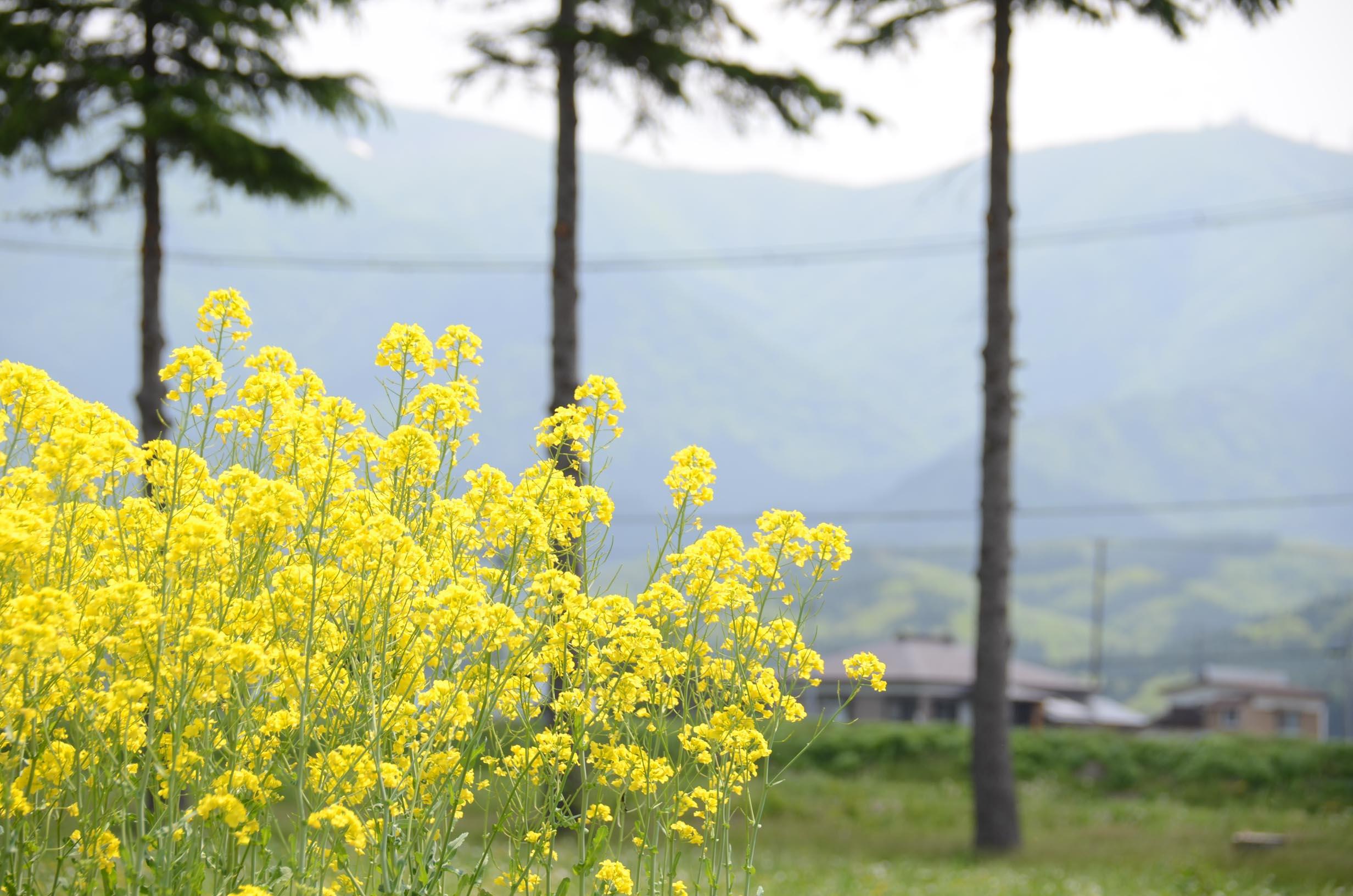 エコロジーの菜の花