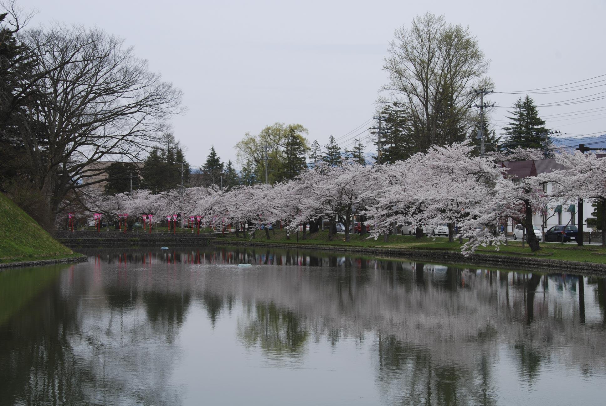 最上公園御堀の桜