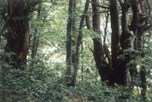 スギ・ブナ混交林の内部