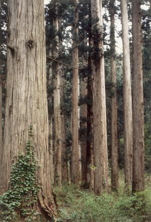 樹齢250年のスギ林(金山町大美輪)