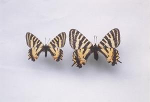 ギフチョウとヒメギフチョウの雑種(両方とも♀)