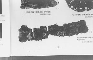 クジラの脊椎骨(新第三紀)