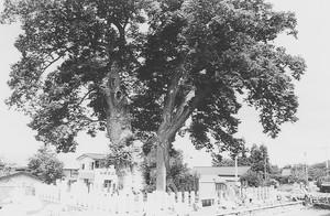 東根城跡の大欅(東根市)