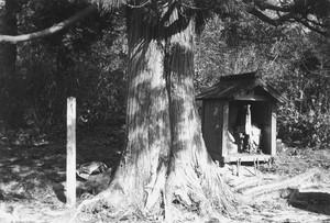 太い杉の木と祠