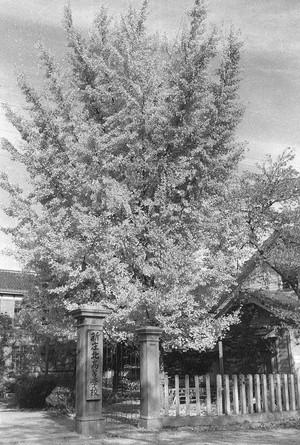 旧新庄北高等学校 銀杏の木