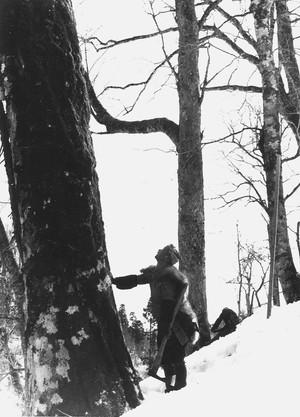 残雪の中木を切り出す