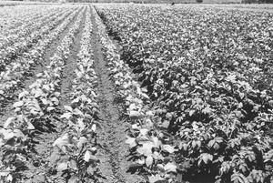 馬鈴薯とサツマ芋畑