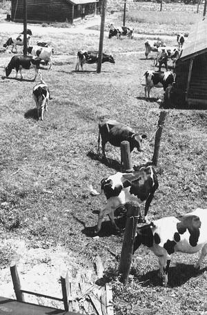 乳牛のいる風景