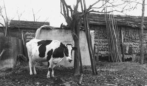 乳牛とトウモロコシ干