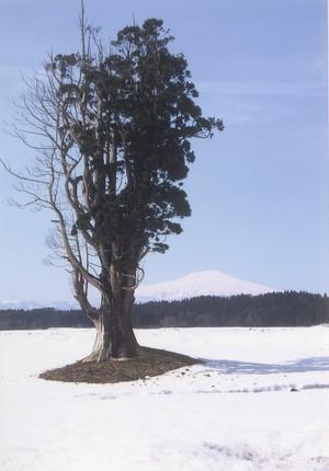 傾城檀の杉