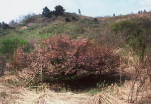 大森山のオクチョウジザクラ