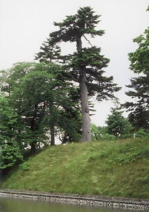 最上公園のモミの木