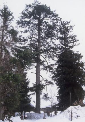瑞雲院のモミの木