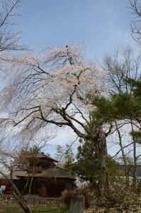 最上公園桜