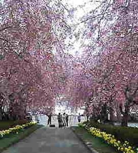 増田製作所の桜
