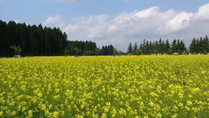 エコロジーガーデン北の菜の花畑