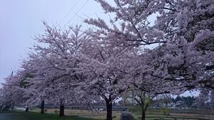 泉田川河川敷の桜