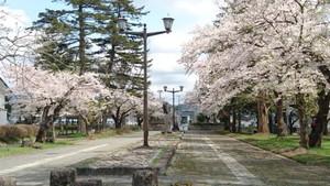 ふるさと歴史センター横の桜